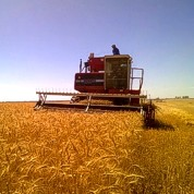 Harvesting wheat.